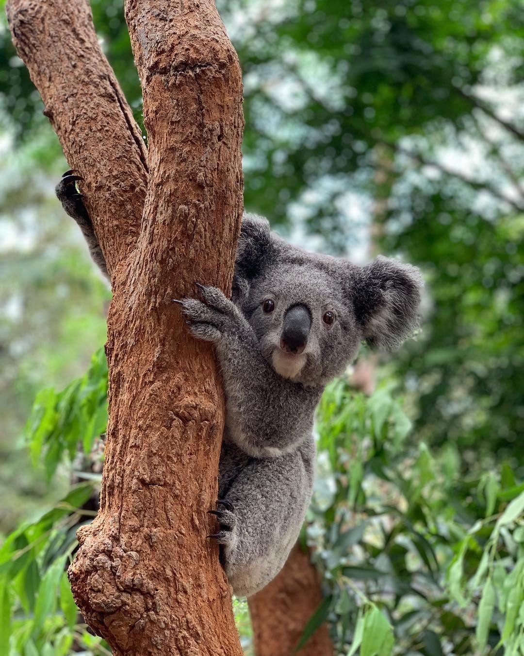 Koala despierto